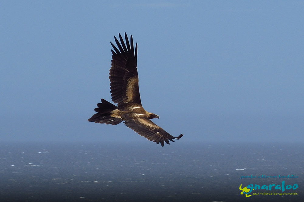 Wedge-Tailed Eagle - Aquila audax - Gnaraloo Wildlife Species
