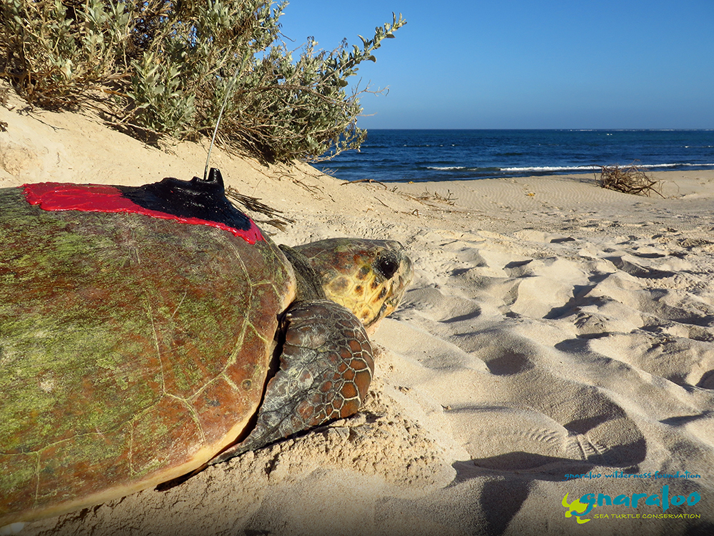 Baiyungu - Satellite tagged loggerhead turtle at the Gnaraloo Bay Rookery