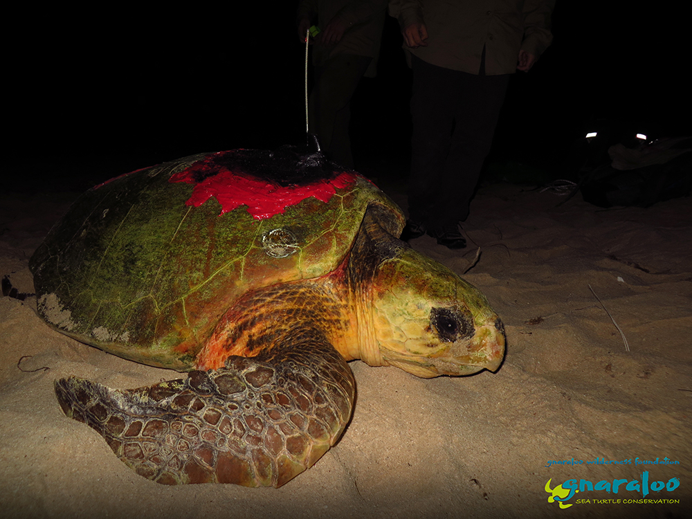 Gnargoo - Satellite tagged loggerhead turtle at the Gnaraloo Bay Rookery