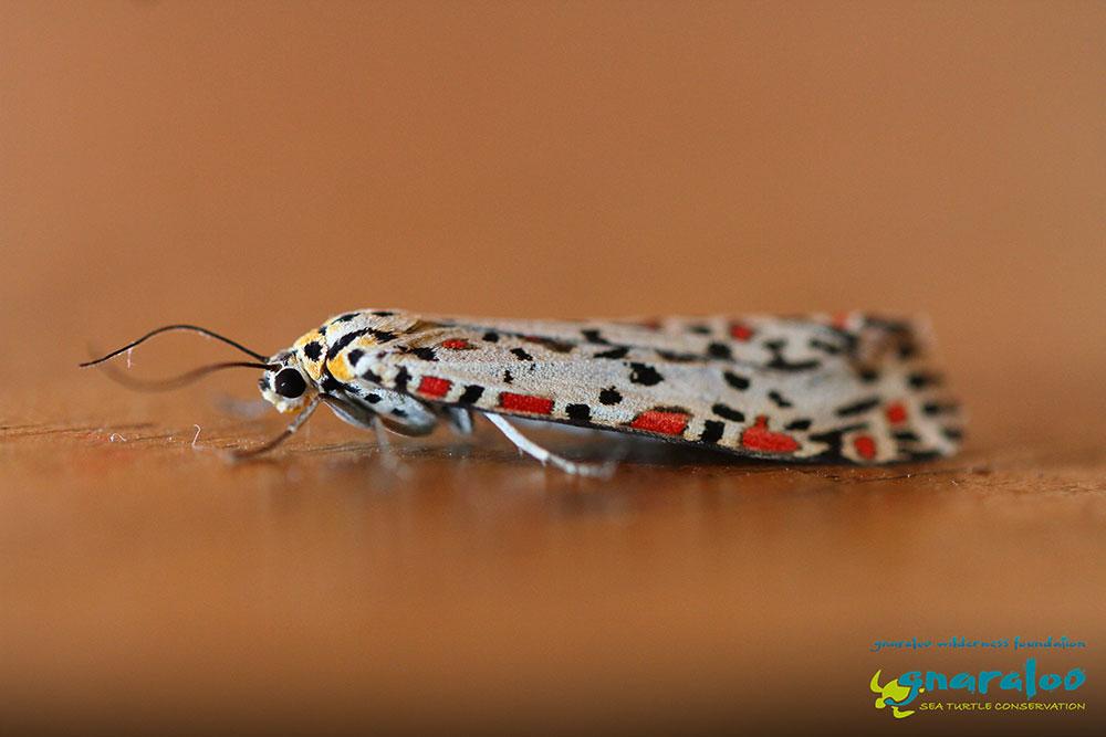 Heliotrope Moth - Utetheisa pulchelloides - Gnaraloo Wildlife Species