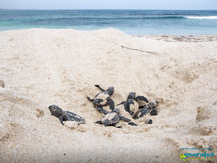Call For Gnaraloo Turtle Nesting Areas To Be Recognized In Legislation As Turtle Sanctuary Areas