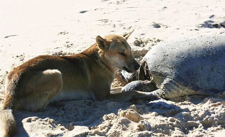 Wild Dog Turtle Predation