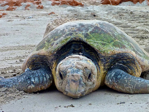 Loggerhead turtle at Gnaraloo