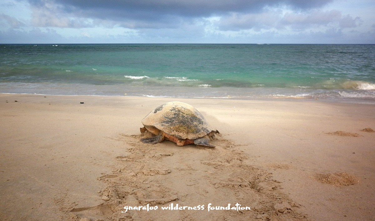 Watch sea turtles nesting in the Ningaloo Marine Park