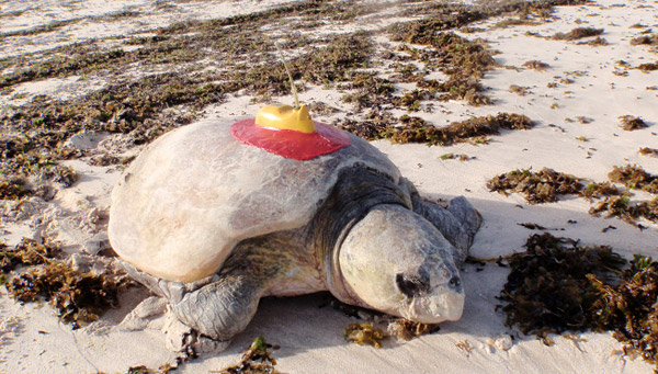 Satellite tracked loggerhead turtle at Gnaraloo
