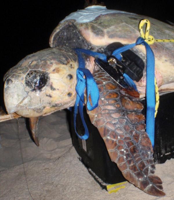 Marloo - Satellite tracked sea turtle at the Gnaraloo Bay Rookery