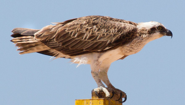 Osprey at Gnaraloo - Ningaloo Coast
