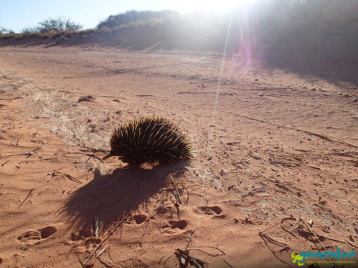 Echidna At Gnaraloo, Western Australia
