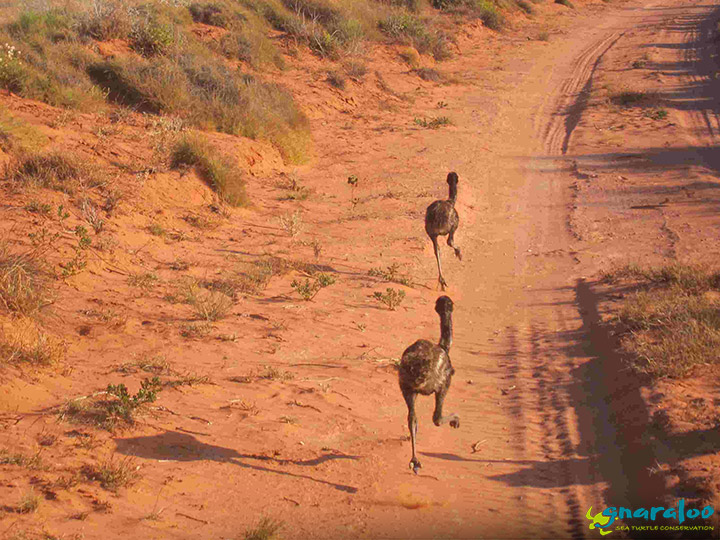 Emus At Gnaraloo