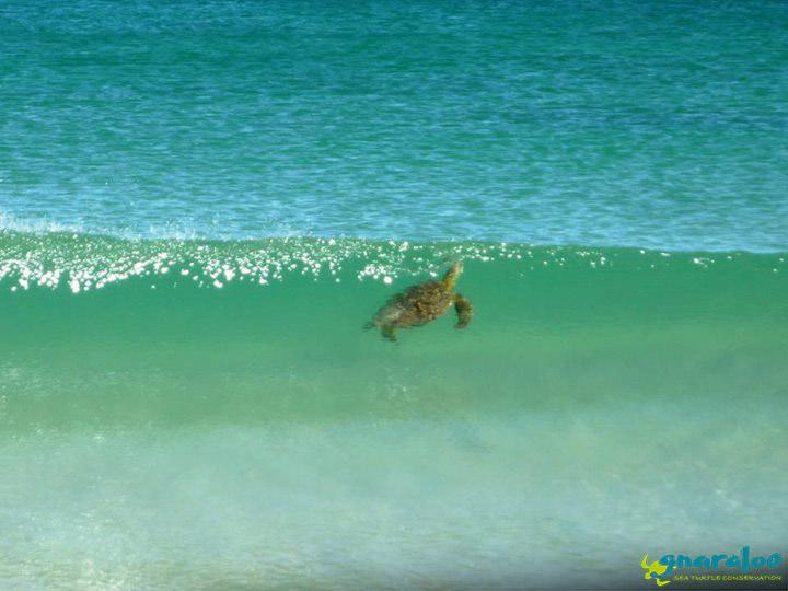 Green Sea Turtle In Waves