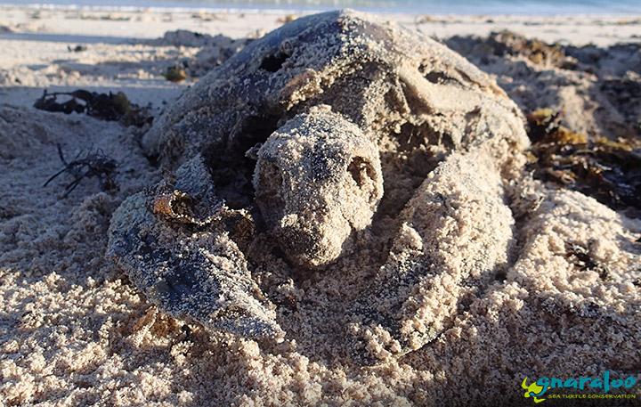 Green Sea Turtle Mortality