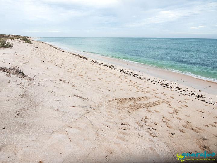 Sea Turtle Track At Gnaraloo