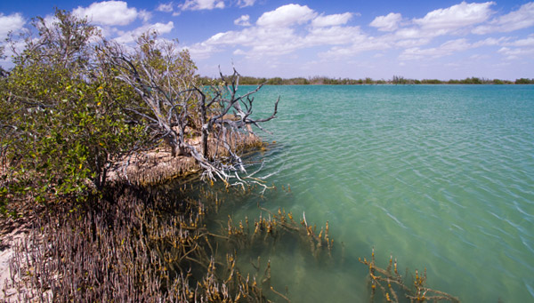 Mangroves - Lake MacLeod - Western Australia