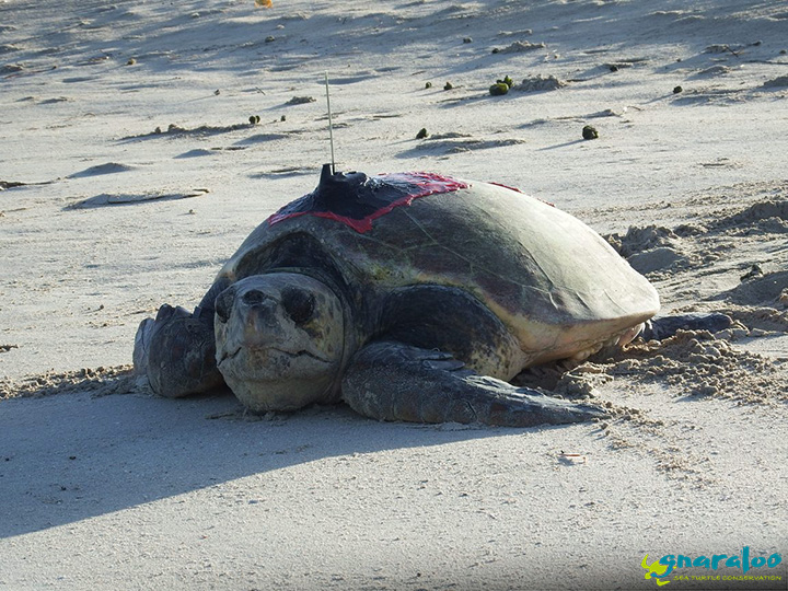Satellite Tagged Loggerhead Sea Turtle At Gnaraloo Bay In Western Australia