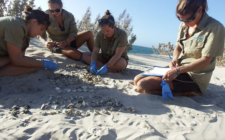 Nest Excavation At The Gnaraloo Bay Rookery