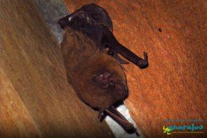 Finlayson's Cave Bat - Vespadelus finlaysoni - Gnaraloo Wildlife Species