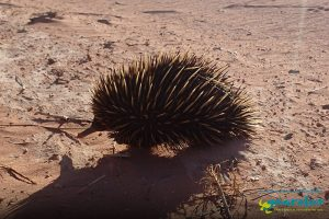 Short-Beaked Echidna - Tachyglossus aculeatus - Gnaraloo Wildlife Species