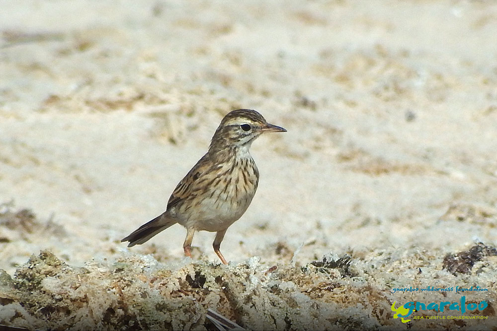 Australasian Pipit - Anthus novaeseelandiae - Gnaraloo Wildlife Species