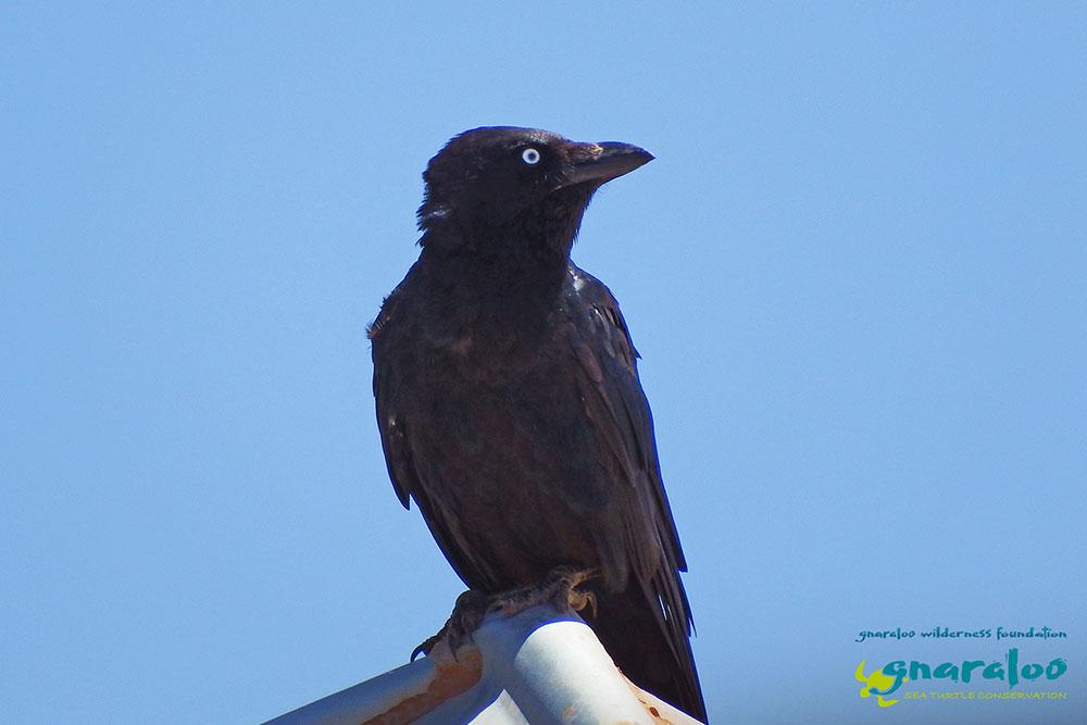 Australian Raven - Corvus coronoides - Gnaraloo Wildlife Species