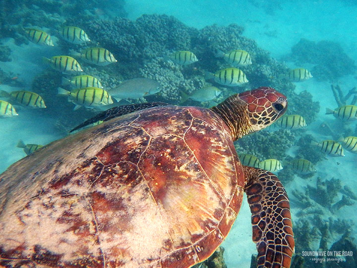 Green Turtle At Gnaraloo, Ningaloo Reef, Western Australia