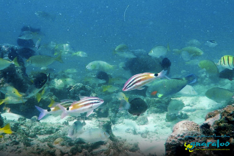 Black-Spot Goatfish - Parupeneus spilurus - Gnaraloo Wildlife Species