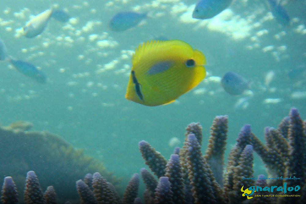 Bluespot Butterflyfish - Chaetodon plebeius - Gnaraloo Wildlife Species
