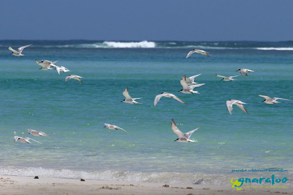 Common Tern - Sterna hirundo - Gnaraloo Wildlife Species