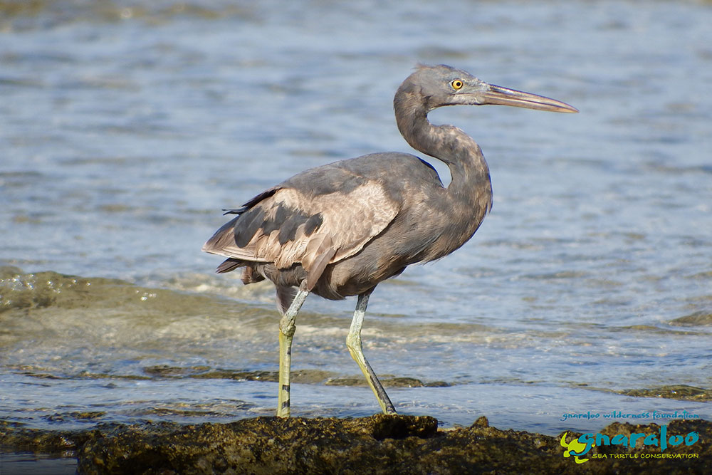 Eastern Reef Egret (dark morph) - Egretta sacra - Gnaraloo Wildlife Species