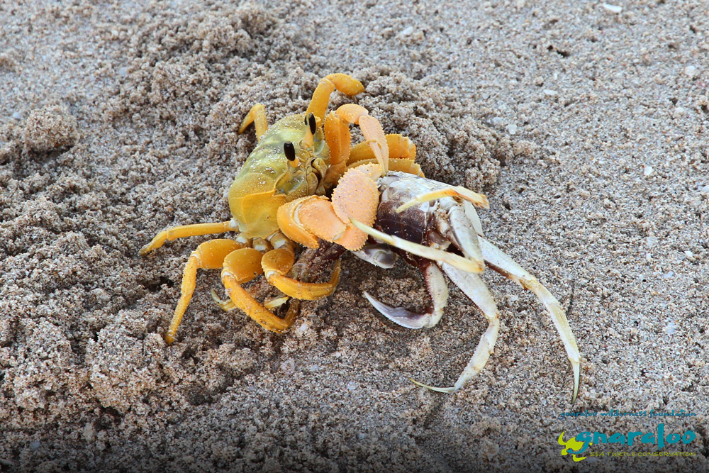 Ghost Crabs - Ocypode convexa, ceratophthalma - Gnaraloo Wildlife Species