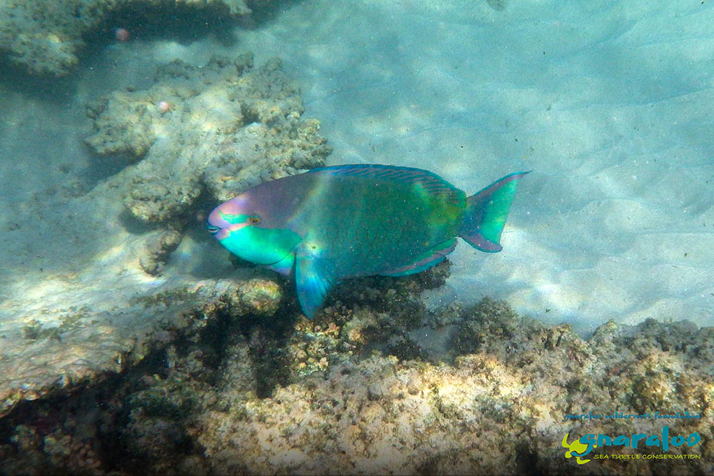 Greencheek Parrotfish - Scarus prasiognathos - Gnaraloo Wildlife Species