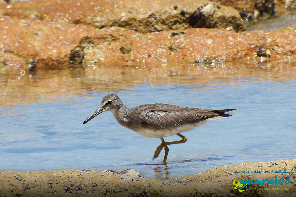 Grey-Tailed Tattler - Tringa brevipes - Gnaraloo Wildlife Species