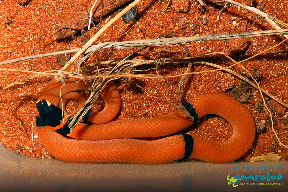 Ringed Brown Snake - Pseudonaja modesta - Gnaraloo Wildlife Species