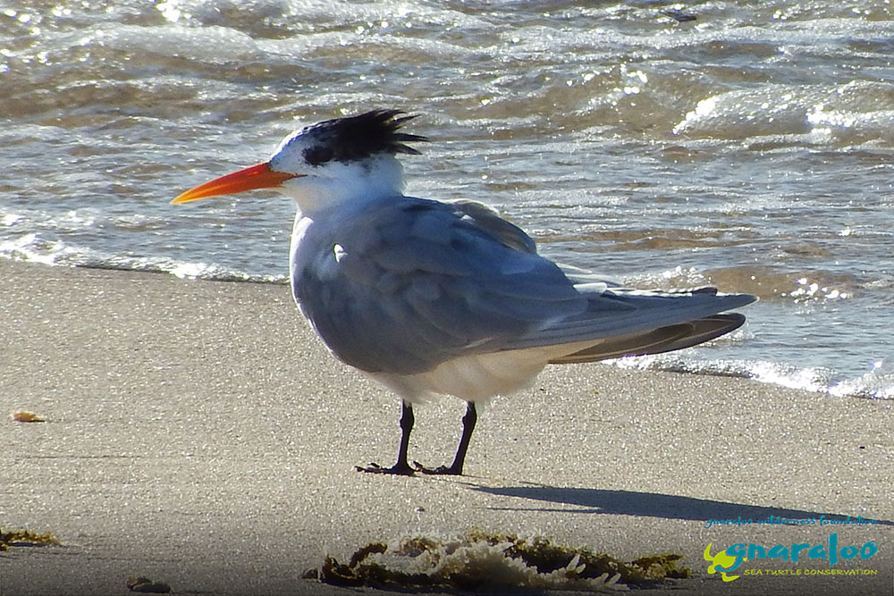 Lesser Crested Tern - Thalasseus bengalensis - Gnaraloo Wildlife Species