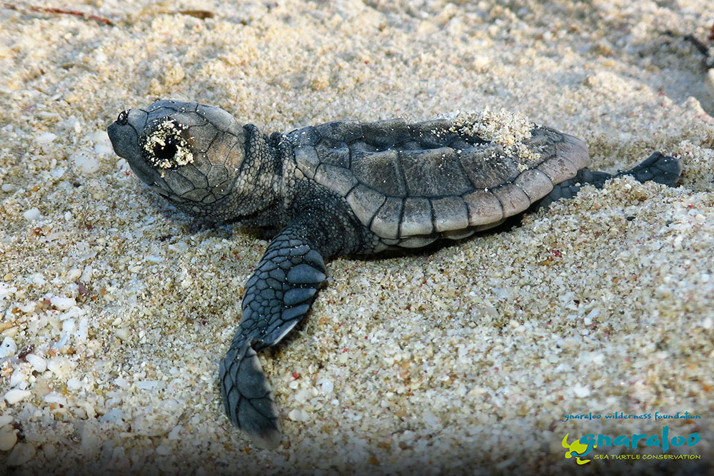 Loggerhead Turtle - Caretta caretta - Gnaraloo Wildlife Species