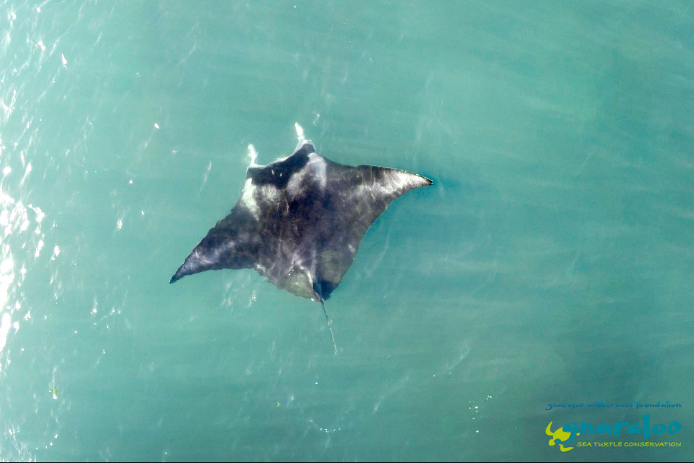 Manta Ray - Manta birostris - Gnaraloo Wildlife Species