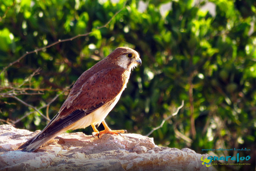 Nankeen Kestrel - Falco cenchroides - Gnaraloo Wildlife Species