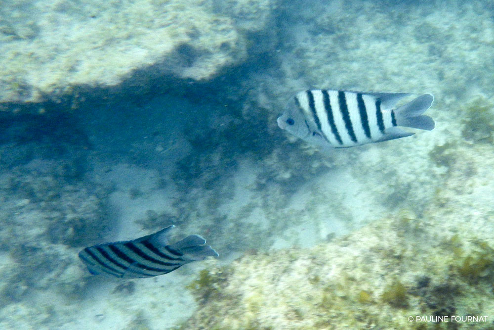 Narrow-Banded Sergeant Major - Abudefduf bengalensis - Gnaraloo Wildlife Species