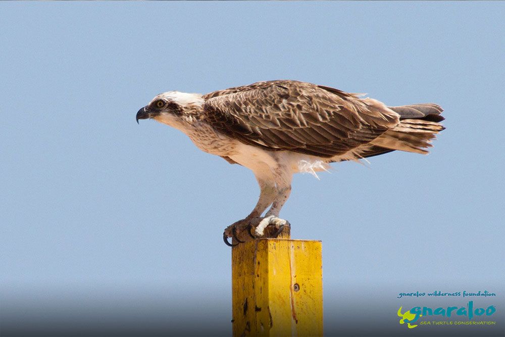 Eastern Osprey - Pandion cristatus - Gnaraloo Wildlife Species
