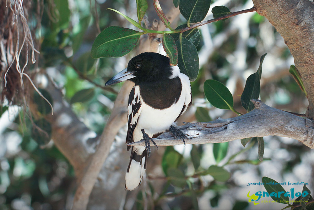 Pied Butcherbird - Cracticus nigrogularis - Gnaraloo Wildlife Species