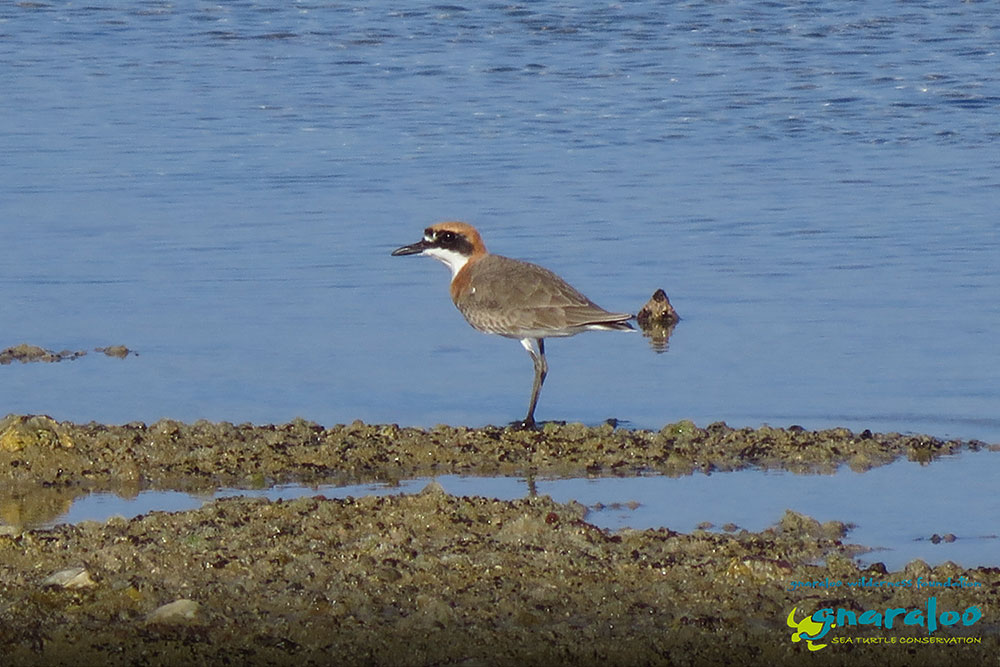 Red-Capped Plover - Charadrius ruficapillus - Gnaraloo Wildlife Species
