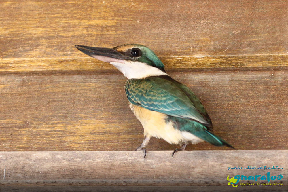 Sacred Kingfisher - Todiramphus sanctus - Gnaraloo Wildlife Species