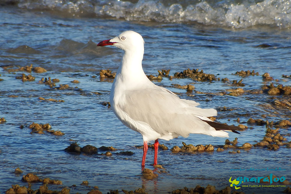 Silver Gull - Chroicocephalus novaehollandiae - Gnaraloo Wildlife Species
