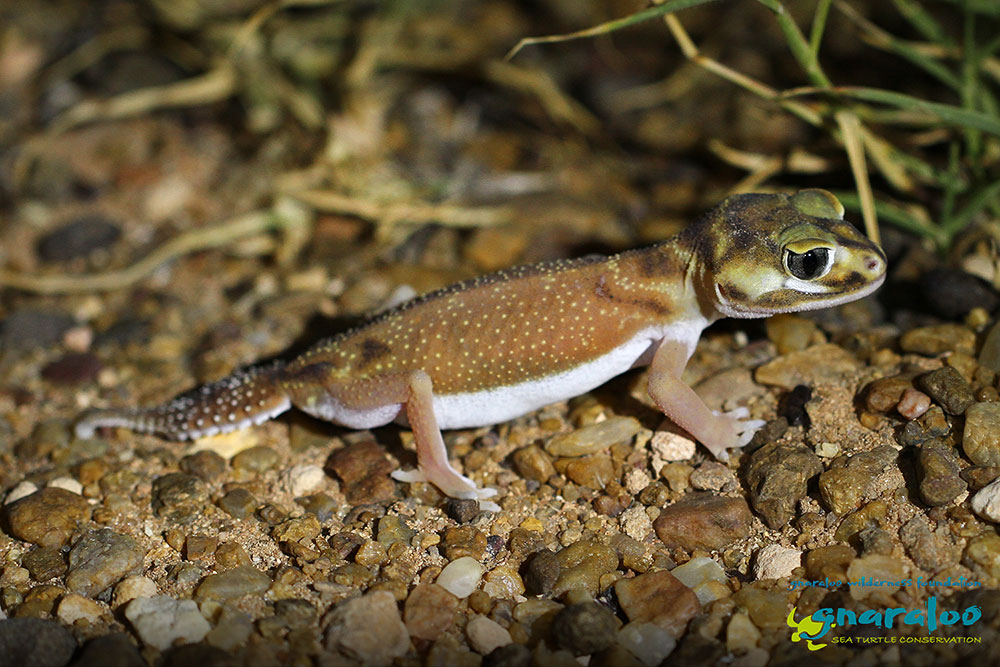 Smooth Knob-Tailed Gecko - Nephrurus levis (occidentalis) - Gnaraloo Wildlife Species