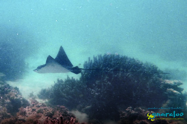 Spotted Eagle Ray - Aetobatus narinari - Gnaraloo Wildlife Species