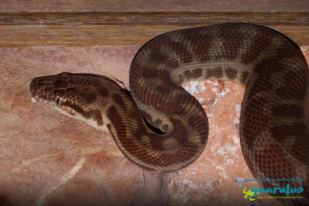 Stimson's Python - Antaresia stimsoni (stimsoni) - Gnaraloo Wildlife Species