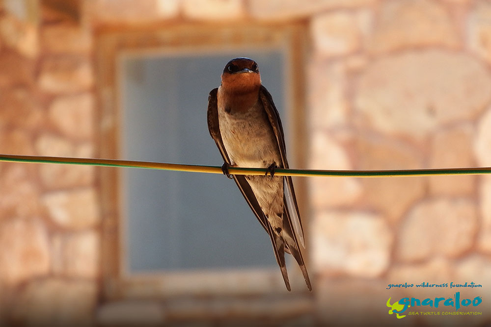 Welcome Swallow - Hirundo neoxena - Gnaraloo Wildlife Species