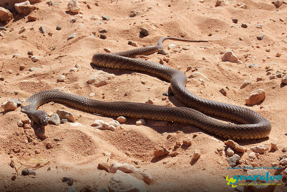 Western Brown Snake - Pseudonaja mengdeni - Gnaraloo Wildlife Species