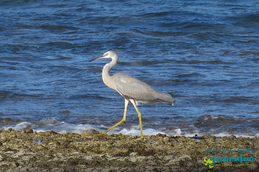 White-Faced Heron - Egretta novaehollandiae - Gnaraloo Wildlife Species