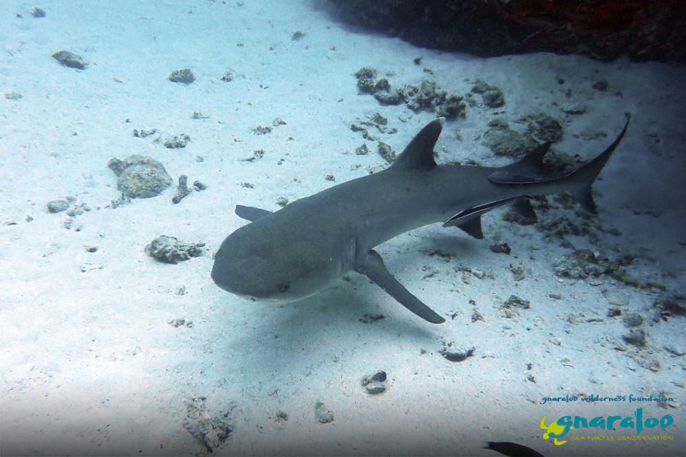 Whitetip Reef Shark - Triaenodon obesus - Gnaraloo Wildlife Species