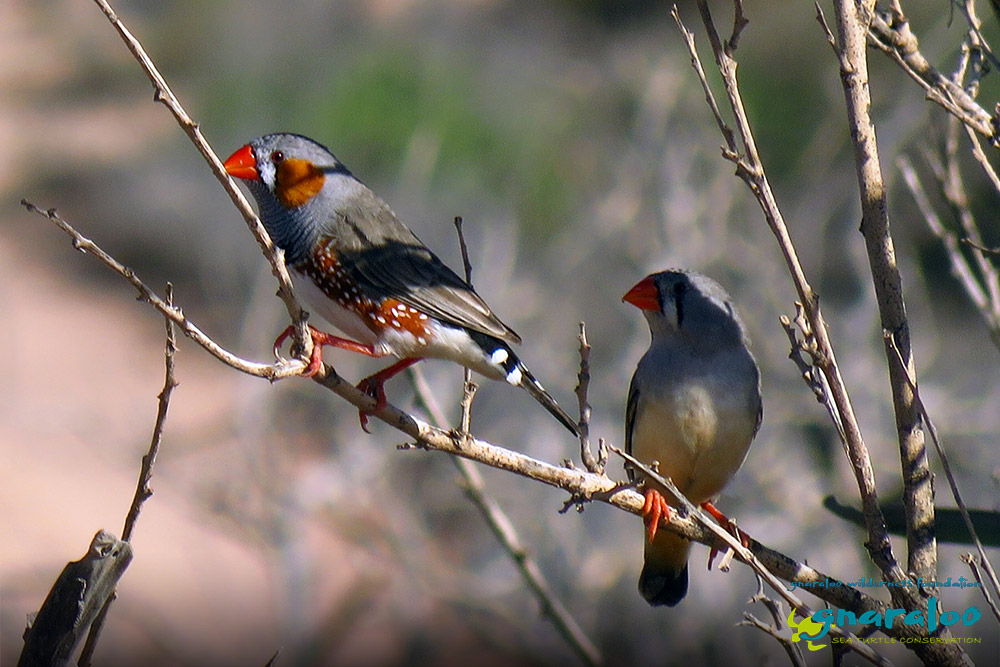 Zebra Finch - Taeniopygia guttata - Gnaraloo Wildlife Species